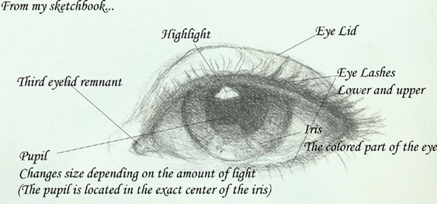 Eye Diagram Eyelid - DIY Enthusiasts Wiring Diagrams •